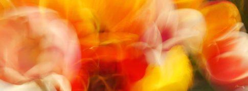 tulipane